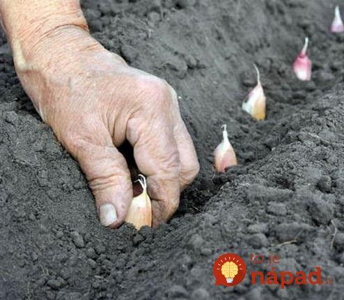 Vysadiť správne jesenný cesnak je malá alchýmia. Treba to urobiť múdro, aby prečkal zimu a na jar vykukol spod zeme v plnej sile.