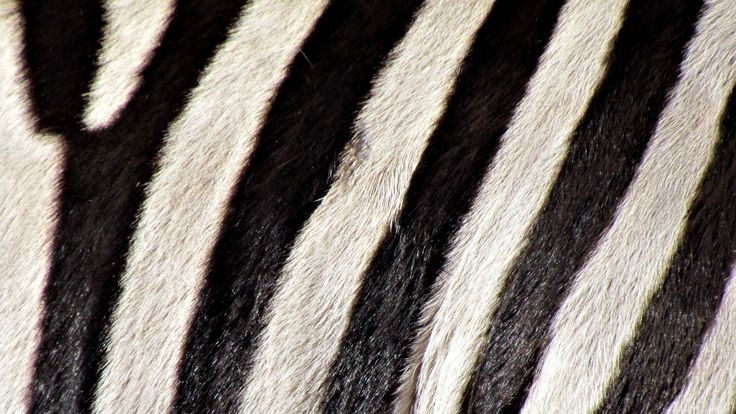 Скачать обои зебра, ч/б, полосы, покров, окрас, раздел макро в разрешении 1600x900