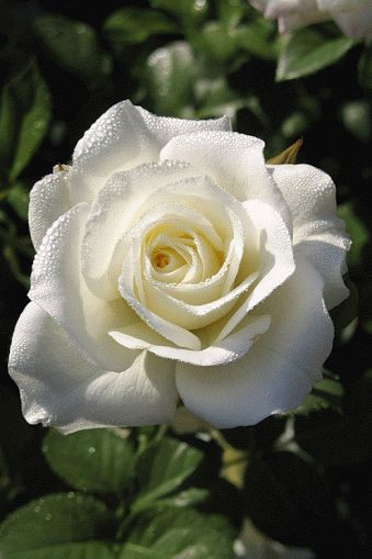 Flores e frases: FLORES DESABROCHANDO GIFS                                                                                                                                                     Mais
