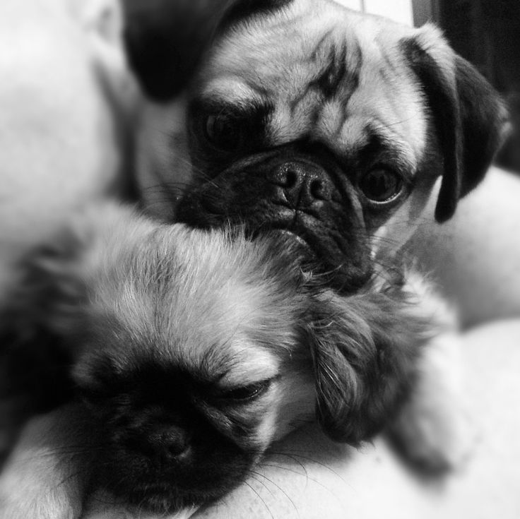 Pickles the Pugalier & Pepe the Pekachu