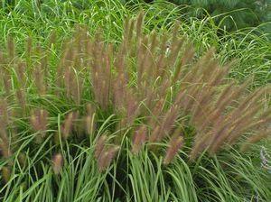 Red Head Fountain Grass Pennisetum