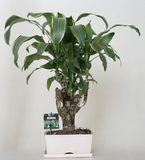 Dropbox - Green Power - Dracaena frag.jpg