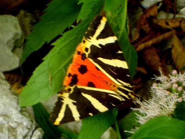 E farfalle!