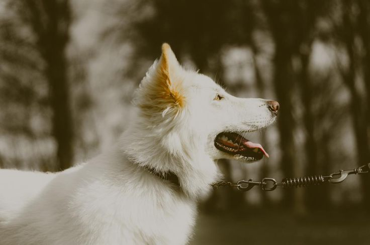 ❕ Check out this free photowhite dog dogs     ✔ https://avopix.com/photo/19251-white-dog-dogs    #canine #white #dog #white wolf #wolf #avopix #free #photos #public #domain