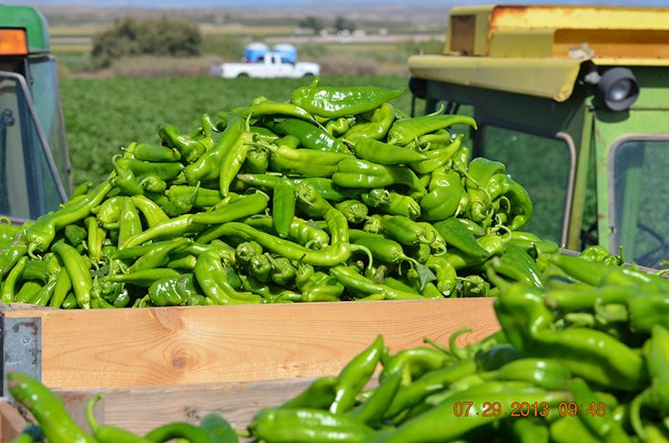 Hatch Peppers from Hatch, New Mexico