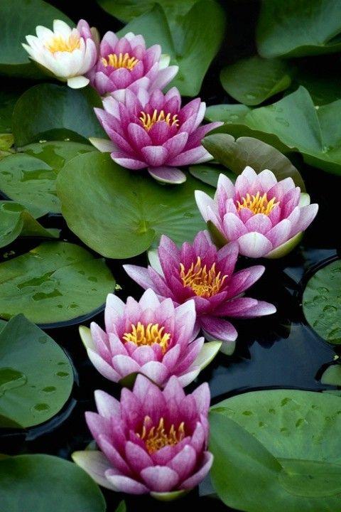Flores de lotus.