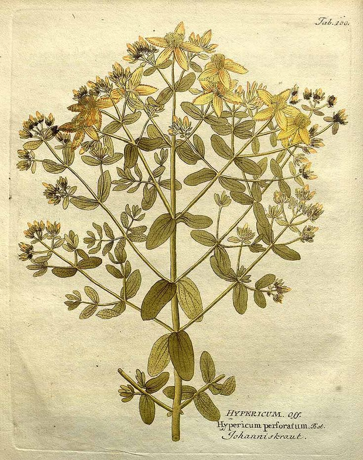 152288 Hypericum perforatum L. / Vietz, F.B., Icones plantarum medico-oeconomico-technologicarum, vol. 1: t. 100 (1800) [F.B. Vietz]