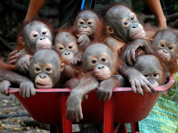 Welcome To The World's Cutest 'Pre-School' For Orangutans
