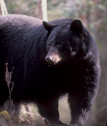 "Black Bear safety from Great Smoky Mountains Park, National Park Service.  Be sure to follow the link to the ""Stay safe in bear country!"" video; very helpful information."