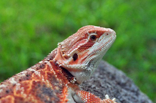 red bearded dragon #beardeddragon