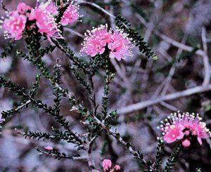 Kunzea rostrata     Erect shrub