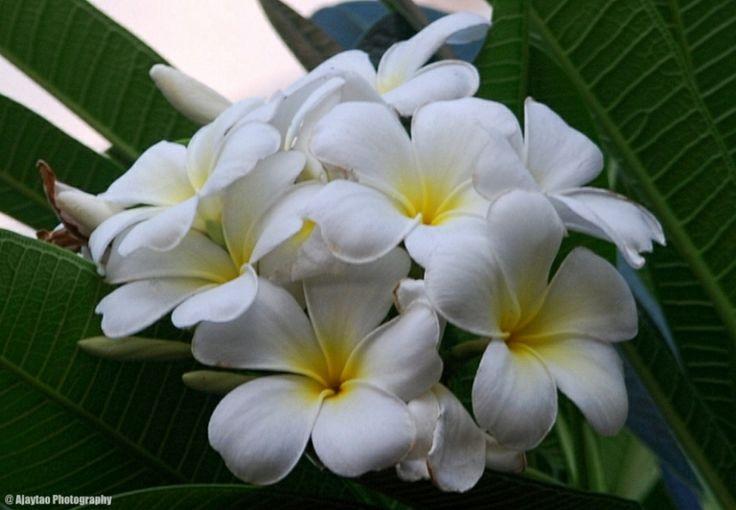 Plumeria obtusa - Frangipani - Ajaytao