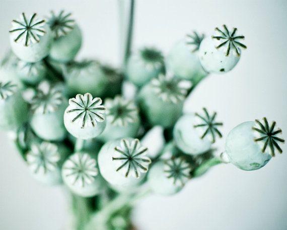 SALE  Botanical Art Photograph Mint green Poppy pods by honeytree