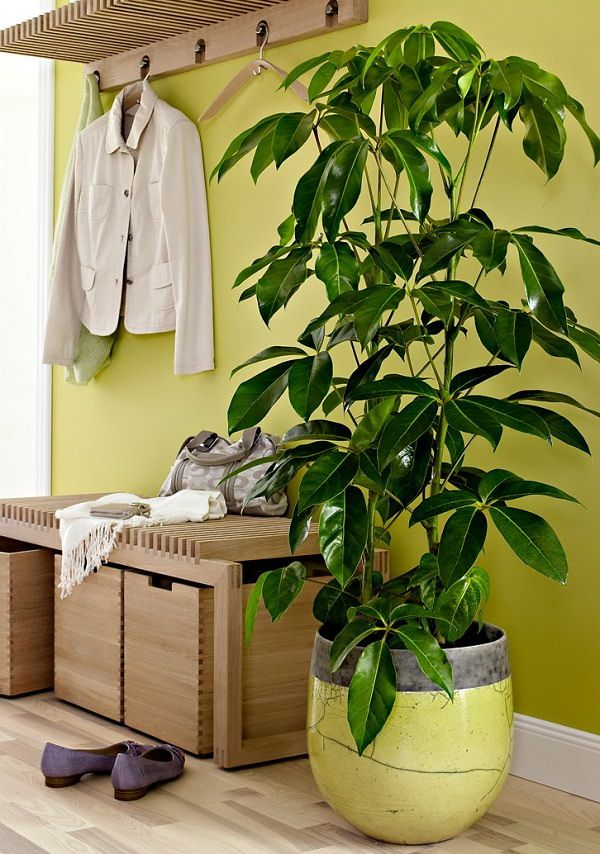 Umbrella Tree (Schefflera actinophylla).  Very common in offices and homes, this beautiful tropical tree becomes a low care and tall houseplant when grown indoors.  Tip: Avoid overwatering. Keep your plant on a bright spot of your home or office that receives indirect sun.