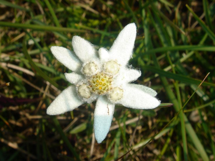 floare-de-colt.jpg (2592×1944): Flowers Leontopodium, Edelweiss Antiag, Anti Ag Flowers, Edelweiss Anti Ag, Imagination Flowers, Flowers Power, Leontopodium Alpinum, Edelweiss Flowers, Antiag Flowers