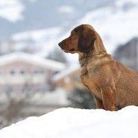 #dogalize Razas de Perros: Basset Alpino #dogs #cats #pets