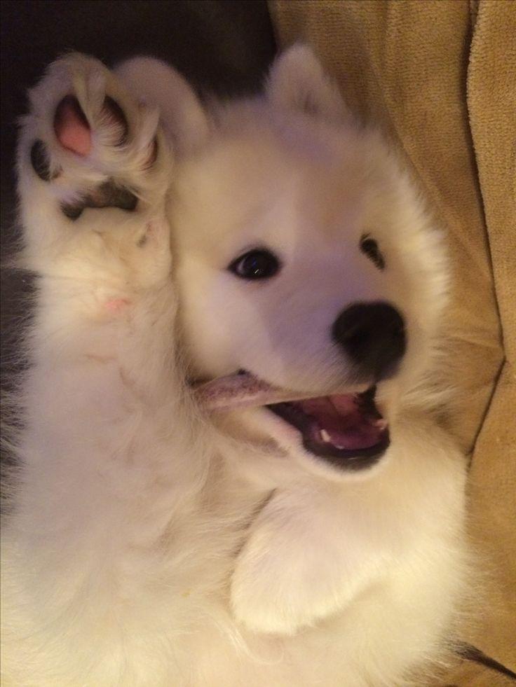 Hi paw! #mysophiesamoyed
