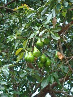 Cómo hacer crecer un injerto de árbol de aguacate