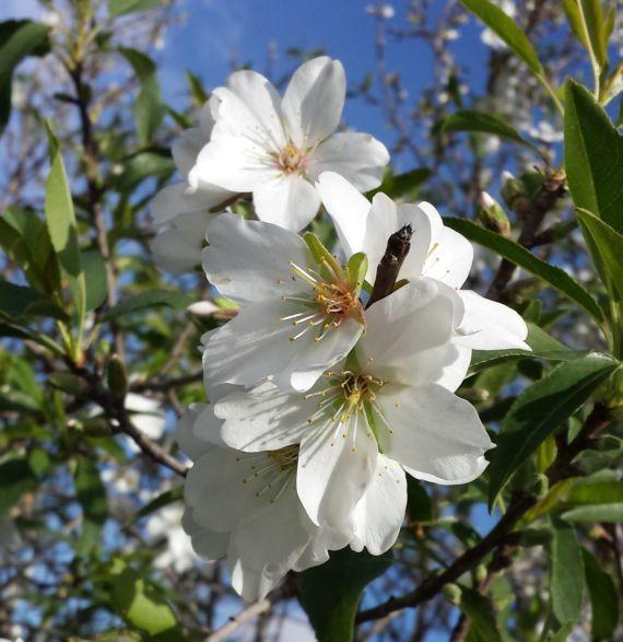 El almendro, un precioso árbol para jardín - http://www.jardineriaon.com/el-almendro-un-precioso-arbol-para-jardin.html