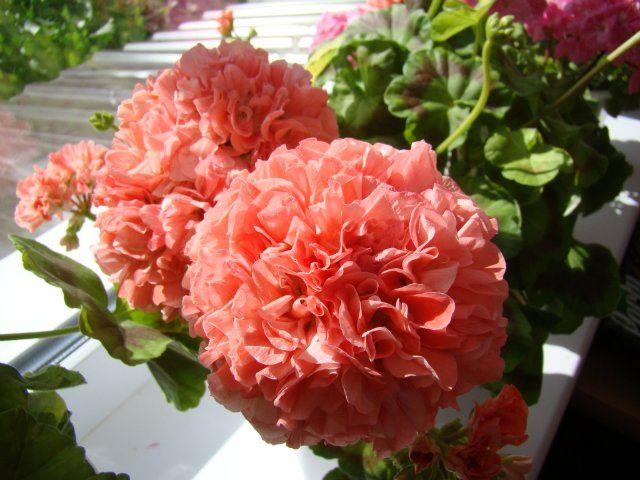 17 b sta bilder om geraniums and pelargoniums p pinterest washington rosa och pelargoner. Black Bedroom Furniture Sets. Home Design Ideas