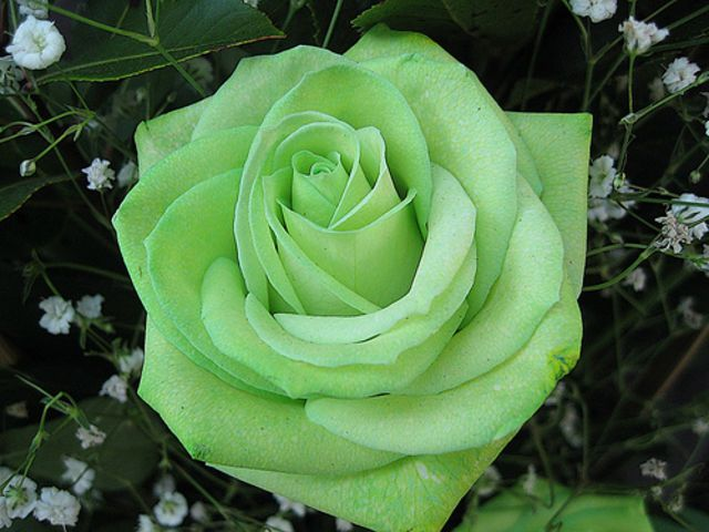 GreenYour personality most matches the green rose! Surprised? Well, some off-white roses contain green. Green is the color of peace and tranquility....harmony too!