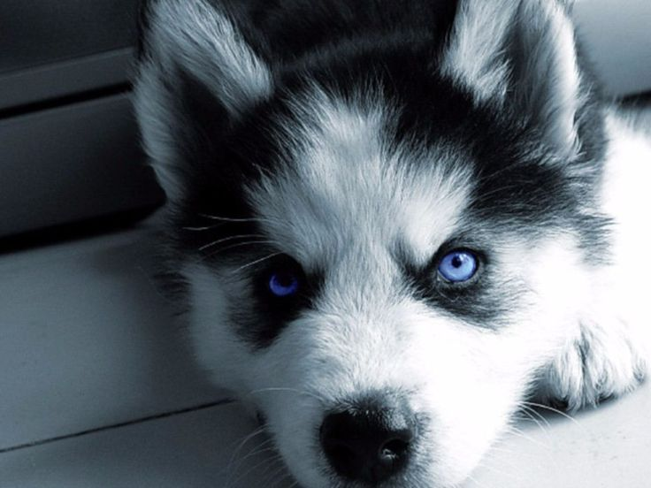 pomeranian husky price 25 best ideas about pomsky puppies price on pinterest 2568