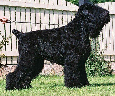 Black Russian Terrier, I love big dogs. The breed was almost lost after WWII. They were crossed with Giant Schnauzer, Airedale, Rotweiller and Moscow water dog (Newfoundland X German Shepherd X Eastern European Shepherd) to become the dog s they are today.