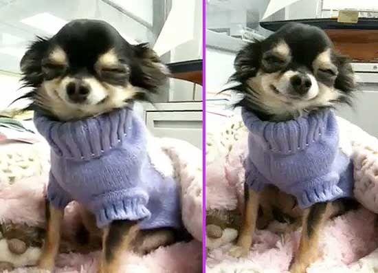 Smilin Chihuahua BeBe Mi Puffy también sonríe!!!