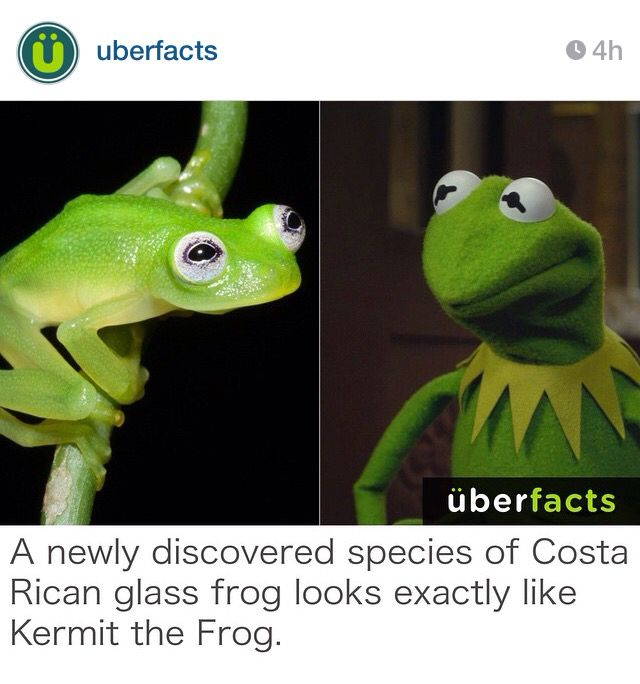 Best Funny Krimet Images On Pinterest Jokes Challenges And - Real life kermit the frog discovered in costa rica