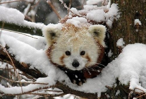 Red panda in snow  I have a small collection of Red Pandas. Hope to find some more, they are adorable.