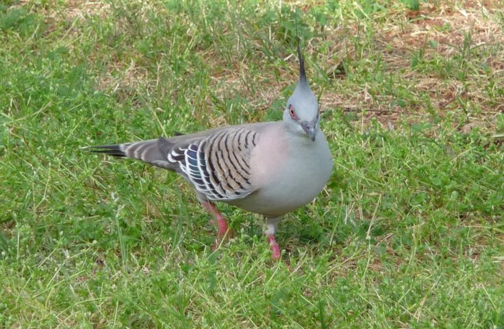 An Australian Native Dove, we have them visit our yard frequently