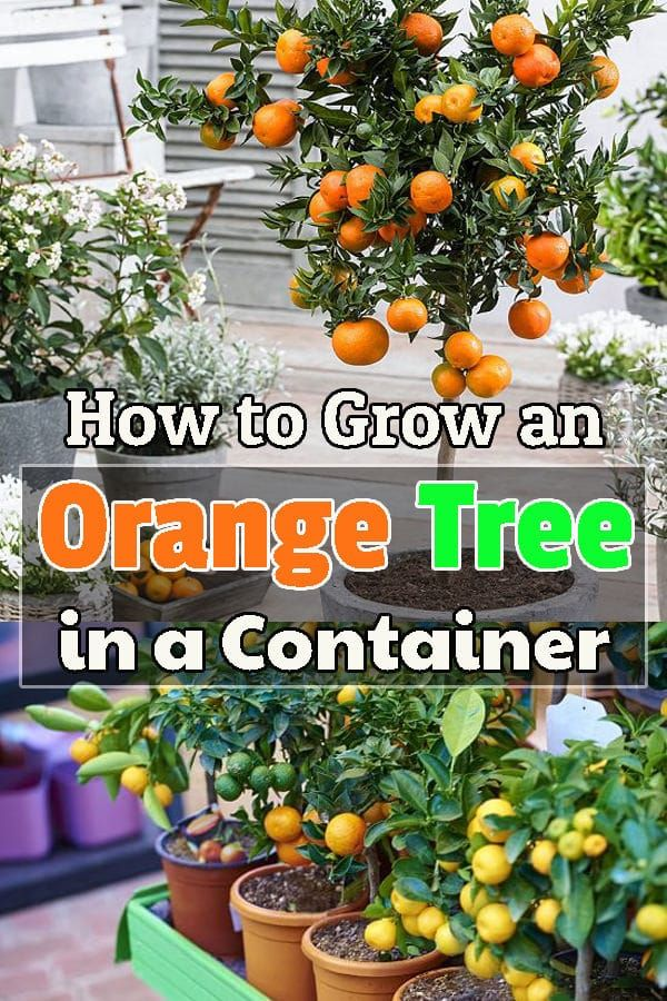 How To Grow An Orange Tree In A Container Fruit Trees In Containers Orange Tree Citrus Plant