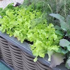 Lattughe e lattughino, perché non coltivarli anche su balconi o terrazzi? Basta aver luce a sufficienza e vasi capienti :) #orto #garden #faidate #veg