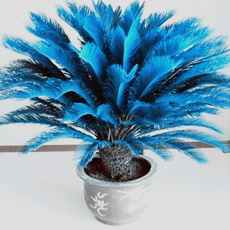 RARE!!!  100pcs Blue Cycas Seeds , Sago Palm Tree Beeds Bonsai Blower Seeds  #Unbranded