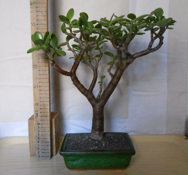 Bonsai  Pre-Bonsai Albero di giada, crassula ovata, vaso bonsai