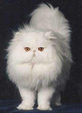 Gato Persa branco - lindo! O gato persa representa o glamour no mundo dos felinos. Em gatinhos, são umas bolas de pêlo adoráveis que até acabam por se perder no seu pêlo longo. Aprenda a identificar, cuidados e outros aqui.