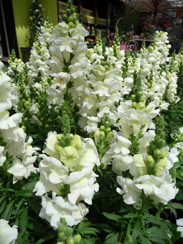 Mufliers à fleurs blanches, Garden Center Schilliger, Gland, Suisse