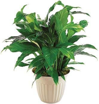 house plants flowering plants for sale indoor plants as gifts