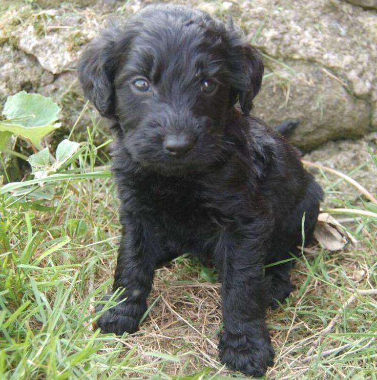 black goldendoodle puppies Google Search Goldendoodle