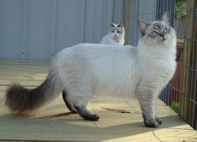 Ragdoll Cats For Sale - Buy Ragdolls with Breeding Rights
