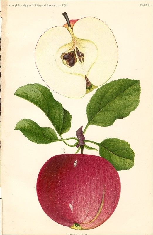 Vintage 1899 Botanical Print of a Red SWITZER APPLE  from the Yearbook US Dept of Agriculture Original Color Lithograph... Fruit Print...free shipping see details