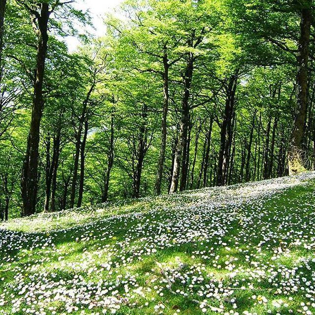 Tapis de pâquerettes à urepel photo de @totegoyeneche #urepel #paysbasque #basque #euskalherria #basquecountry #montagnebasque #montagne #foret #fleur #randonnée #rando #instarando #picoftheday #nature #instanature #paysage