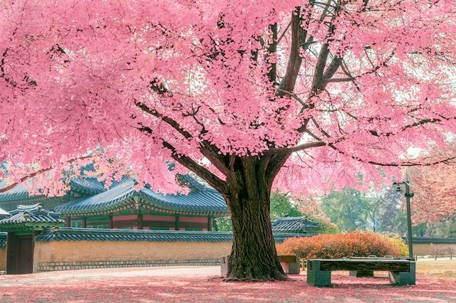 Cherry Blossoms In Spring Pink Trees Beautiful Nature Cherry Blossom