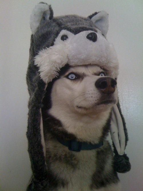 'I wear the skin of my enemies' don't we all need hats like this??? #funny #doghumor #silly