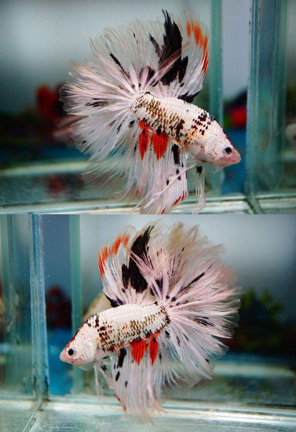 69 b sta bilderna om betta fish p pinterest fler av de for Black and white betta fish