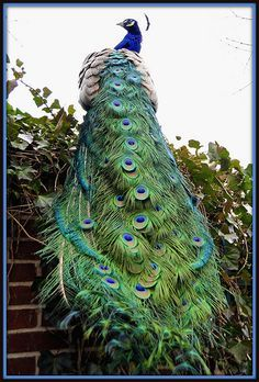 Peacock Tail, Long View by Tony Fischer - Took so many pics of the peacocks this weekend. Can't wait to upload them!