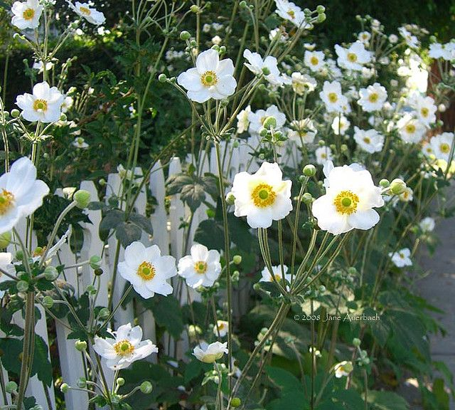 """Anemone """"Honorine Jorbet"""" - with moist part-shade, outstanding for the autumn garden!"""