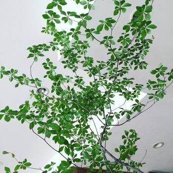 小さなお花と葉っぱの枝ものグリーン「ドウダンツツジ」をインテリアに♪ | キナリノ