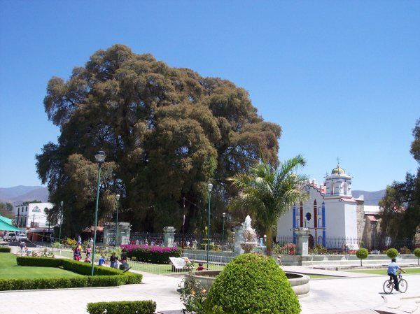 Дерево Туле Уникальность дерева из семейства таксодиумов, произрастающего возле церкви городка Санта-Мария-дель-Туле (штат Оахака, Мексика), состоит в том, что оно имеет самый толстый в мире ствол – чуть больше 36 метров в окружности и почти 12 метров в диаметре (по состоянию на 2005-ый год). Согласно различным версиям, примерный возраст этого дерева – 1500-6000 лет.
