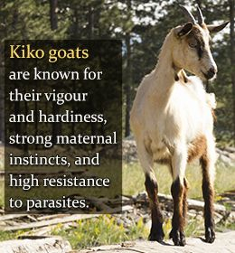 ** This goat breed seems to have some beneficial attributes; altho, isn't the maternal instinct in any animal strong?